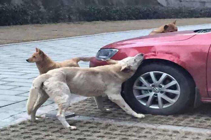 Pateó a un perro callejero y se vengó con su pandilla (+Carro destrozado)