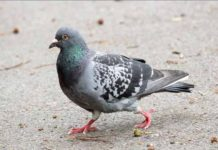 Vea la paloma que se hizo viral por bailar al ritmo de la música
