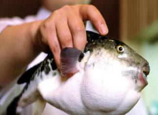 Consumo de pez globo no presenta riesgo letal para la salud, según especialista