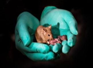 Científicos chinos logran alterar el tamaño de ratones con edición genética