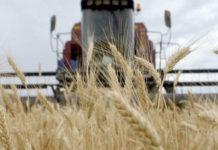Industria de la harina requiere 120 mil toneladas de trigo para seguir operando