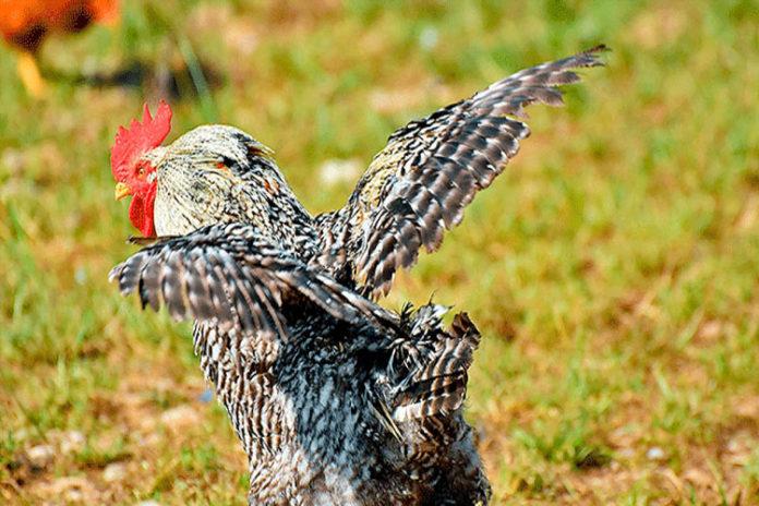 Gallo mató a picotazos a una anciana