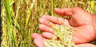 En Colina siembran la primera media hectárea de arroz