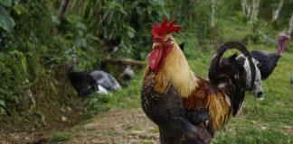 Por un gallo asesinan a un hombre en La Vega