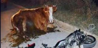 Literal: Por culpa de la vaca muere albañil al chocar su moto en Dabajuro