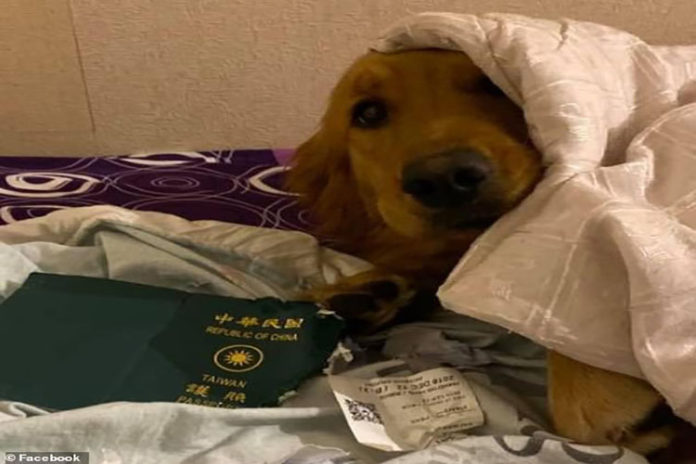 ¡Héroe perruno! agradeció a su mascota por morder su pasaporte y arruinar su viaje a Wuhan