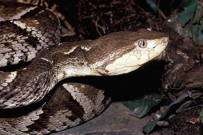 La mordió una serpiente cuatro narices en Piritu