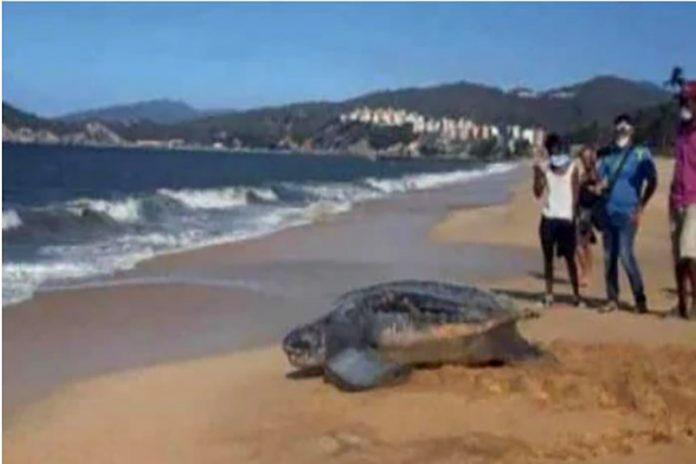 Tortuga gigante es avistada en Carúpano, Sucre
