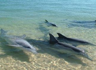 Paseando en cuarentena: Delfines se orillan en la bahía de Pampatar, isla de Margarita